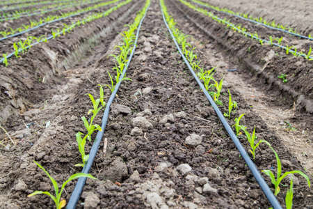 small corn plant growing in bed with drip irrigation water system