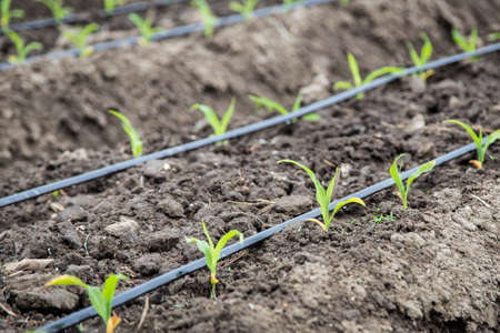 close up of small corn plant growing in bed with drip irrigation water system
