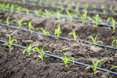 small corn plant growing in bed with drip irrigation