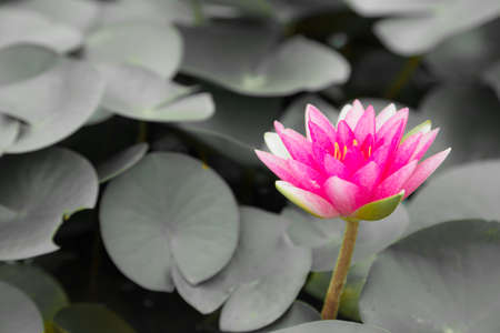 pink lotus flower blooming with  gray leaf background