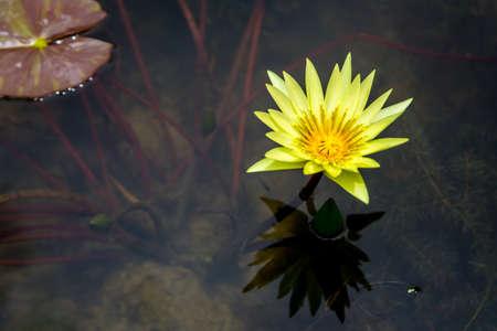 Yellow lotus  in the garden