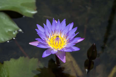 Purple and yellow lotus with bee 写真素材