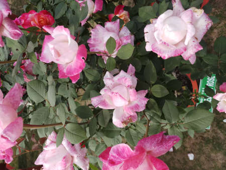 beautiful pink and white rose 스톡 콘텐츠