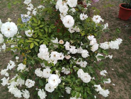 white rose flower in indian garden
