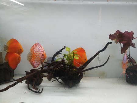 checker biard discus in aquarium in india