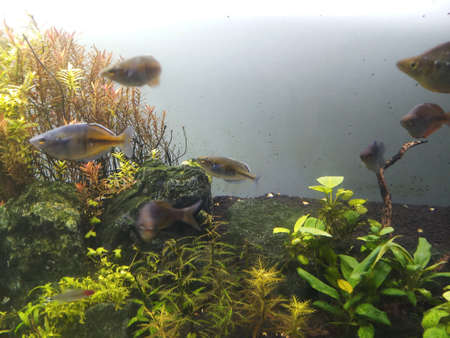 group of planted aquarium fish in freshwater planted aquarium Standard-Bild - 140372681