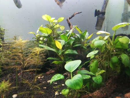 Anubias aquarium beginner plant in aquarium with fish