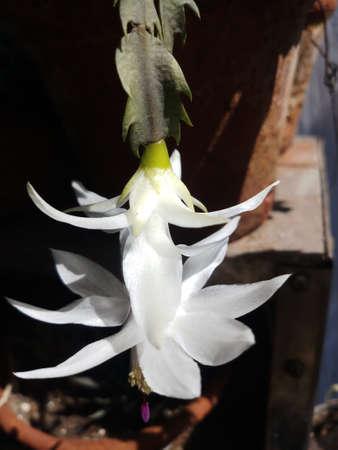 white color christmas cactus flower plant flowering in spring season Reklamní fotografie