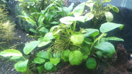anubias aquatic hardy plant in planted aquarium