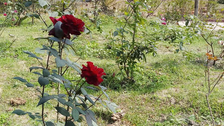 beautiful red rose flower in garden in india Imagens