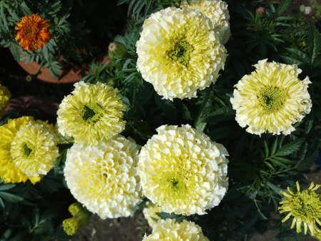 white marigold flower in balcony garden in bunches