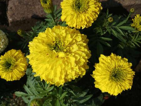 light yellow marigold flower in garden in pot