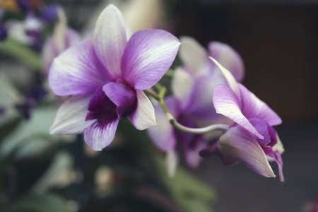 Purple Orchid Flowers, Singapore
