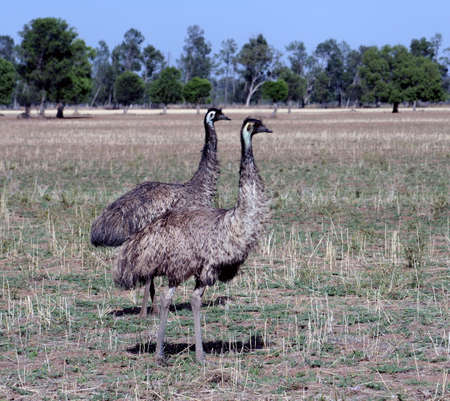 Pair of Emus in the Australian Outback