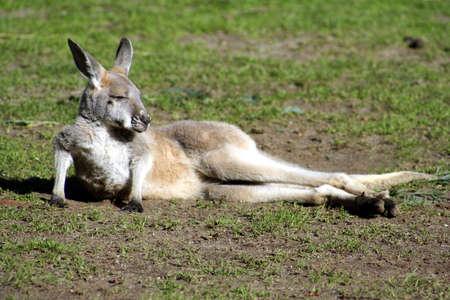joey: Kangaroo Joey, Australia