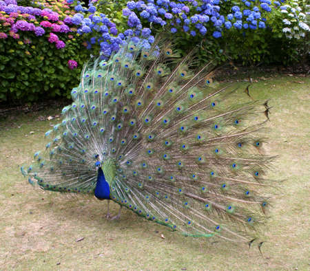primp: Beautiful Peacock showing full plumage
