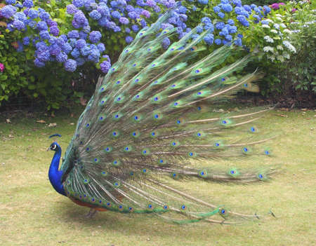 show garden: Side View of Indian Blue Peacock showing his full plumage in a mating dance Stock Photo