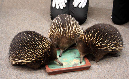animal pouch: Short-beaked Echidna feeding, Tasmania, Australia