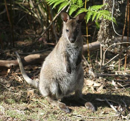 tasmania: Wallaby Joey, Tasmania, Australia
