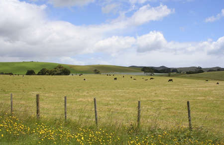 Field of stubble with cows grazing, Tasmania