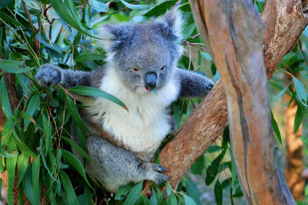 Koala sitting in a tree eating a eucalyptus leaf, Victoria, Australia Stock Photo