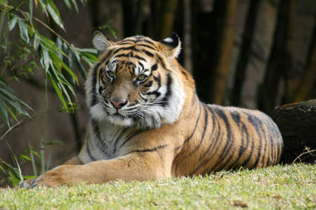 The Bengal Tiger relaxing in the sun. Stock Photo