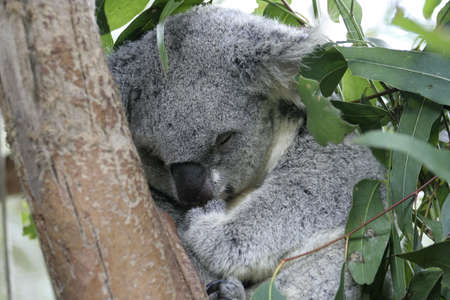Koala sleeping in a Eucalyptus tree, Australia