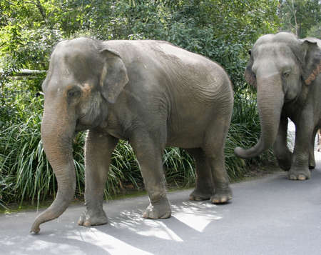 The Asian Elephants go for a walk at an Australian zoo.  The Asian Elephant is an endangered species with only 30,000 to 40,000 individuals left in the wild. They are found in fourteen different countries throughout South-east Asia and surrounds.