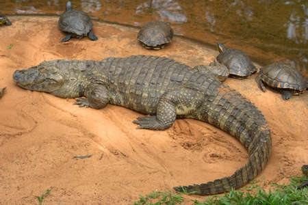 Caiman crocodile resting on a sandy bank, Brazil, South America