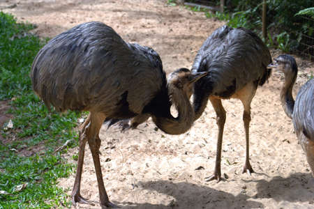 rhea: Rhea birds are native to South America and are related to the ostrich and emu.
