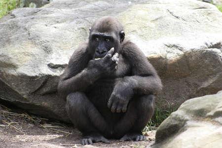 apprehensive: Western Lowland Gorilla looking apprehensive as it eats its food Stock Photo