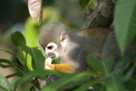 Squirrel Monkey eating a banana on the banks of the Amazon River, Peru, South America