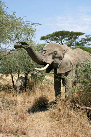 An elephant cow and tiny calf graze on the thorn bush in the savannah of the Serengeti National Park, the Tanzanias largest and most famous reserve.