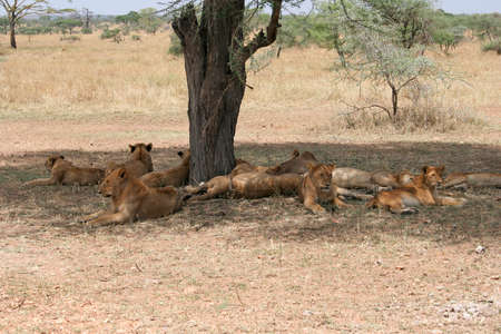 Young lions relax in the shade of a tree after a kill on the savannah of Serengeti National Park, Tanzania, Africa. The Serengeti is home to one of the most diverse wild animal populations on Earth, and one of the best places on the continent to view lion Stock Photo