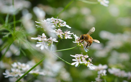 Bee is collecting honey from flowers . Kolkata,India. Stock Photo