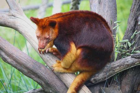 Golden Mantled Tree Kangaroo Stock Photo
