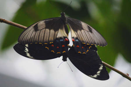 Spotted Black Crow butterfly Stock Photo
