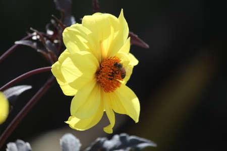 Asteraceae Daisy