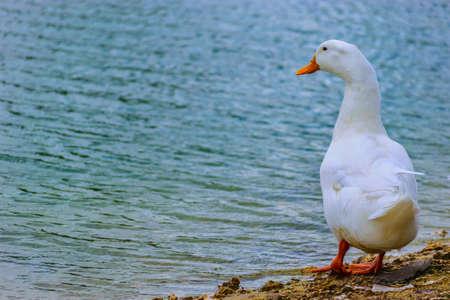 Pekin Duck standing by the lake