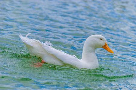 Pekin Duck swimming in lake 版權商用圖片