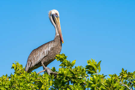 Brown Pelican perched on top of a tree