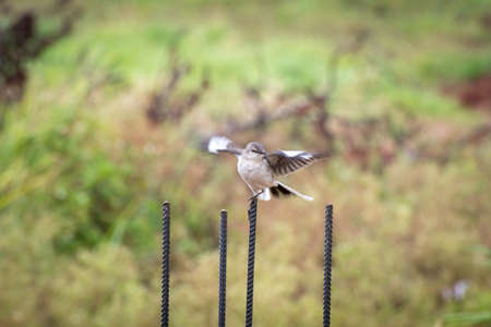 Northern Mockingbird just landed