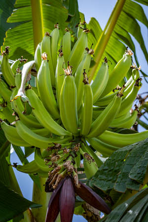 Large bunch of young green plantains on tree