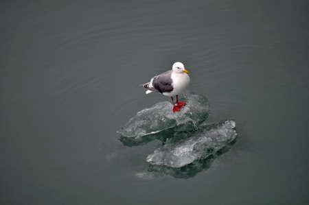 Zeemeeuw die op een Iceburg drijft Stockfoto