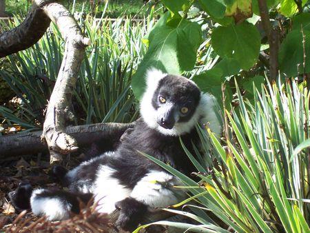 nonchalant: Lemur Stock Photo