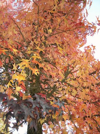 Yellow and orange fall tree