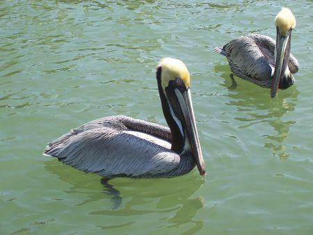 Florida pelican Banco de Imagens