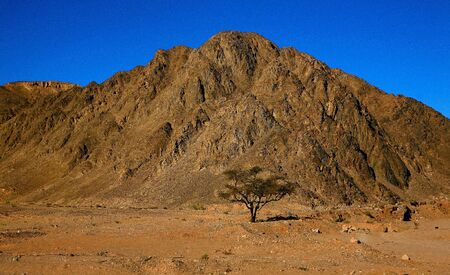 Lonely Tree in Sinai