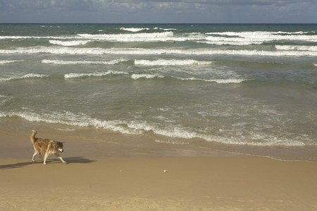 wave tourist: Dog walking on Tel Aviv Beach Stock Photo