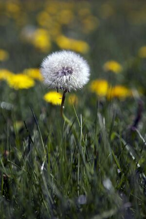 One Dandelion Close-up photo
